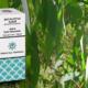 Huile essentielle d'Eucalyptus radié (Eucalyptus radiata)
