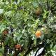 Huile essentielle de Petit Grain Bigarade (Citrus aurantium)