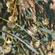 Huile essentielle d'Eucalyptus radié