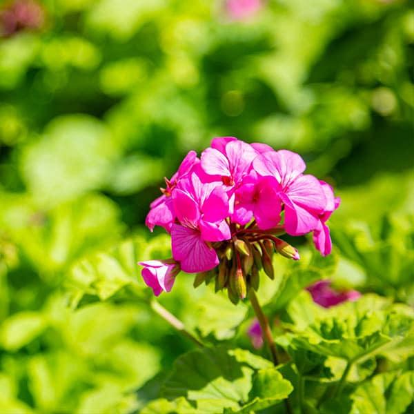 Huile essentielle de Géranium rosat
