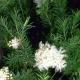 Huile essentielle de Tea tree (Melaleuca alternifolia)