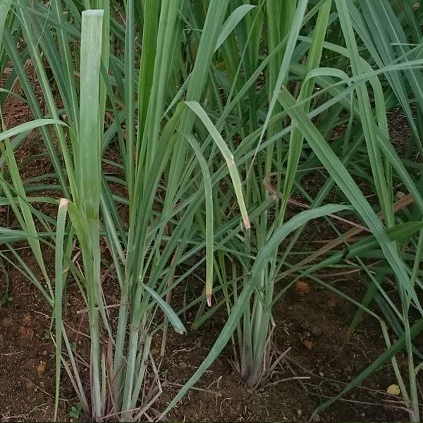 Huile essentielle de Lemongrass